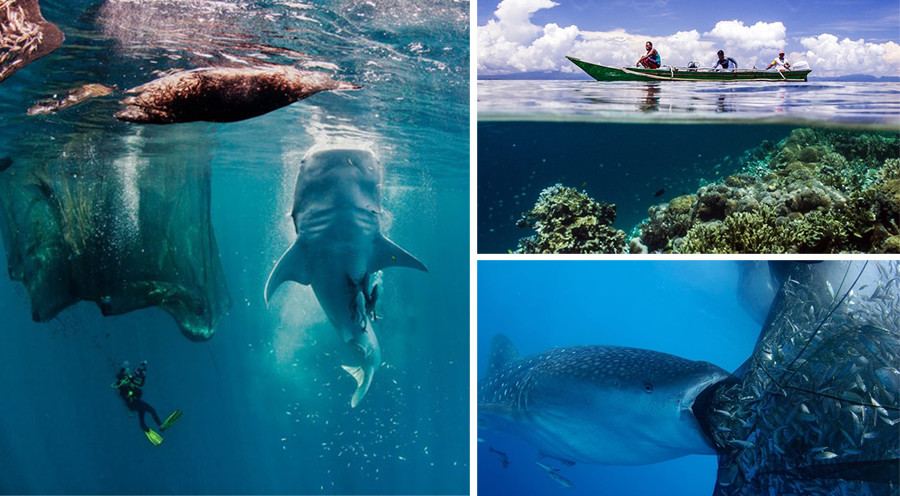 Travel to Cenderawasih Bay Whale Sharks