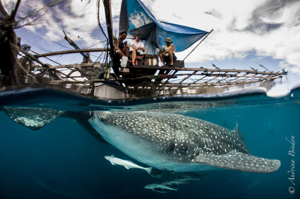Travel Cenderawasih Bay Whale Sharks